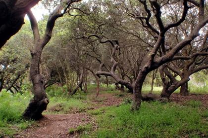 Oak Forests